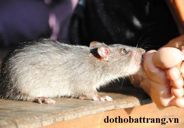 Bị chuột cắn là điềm báo gì 2