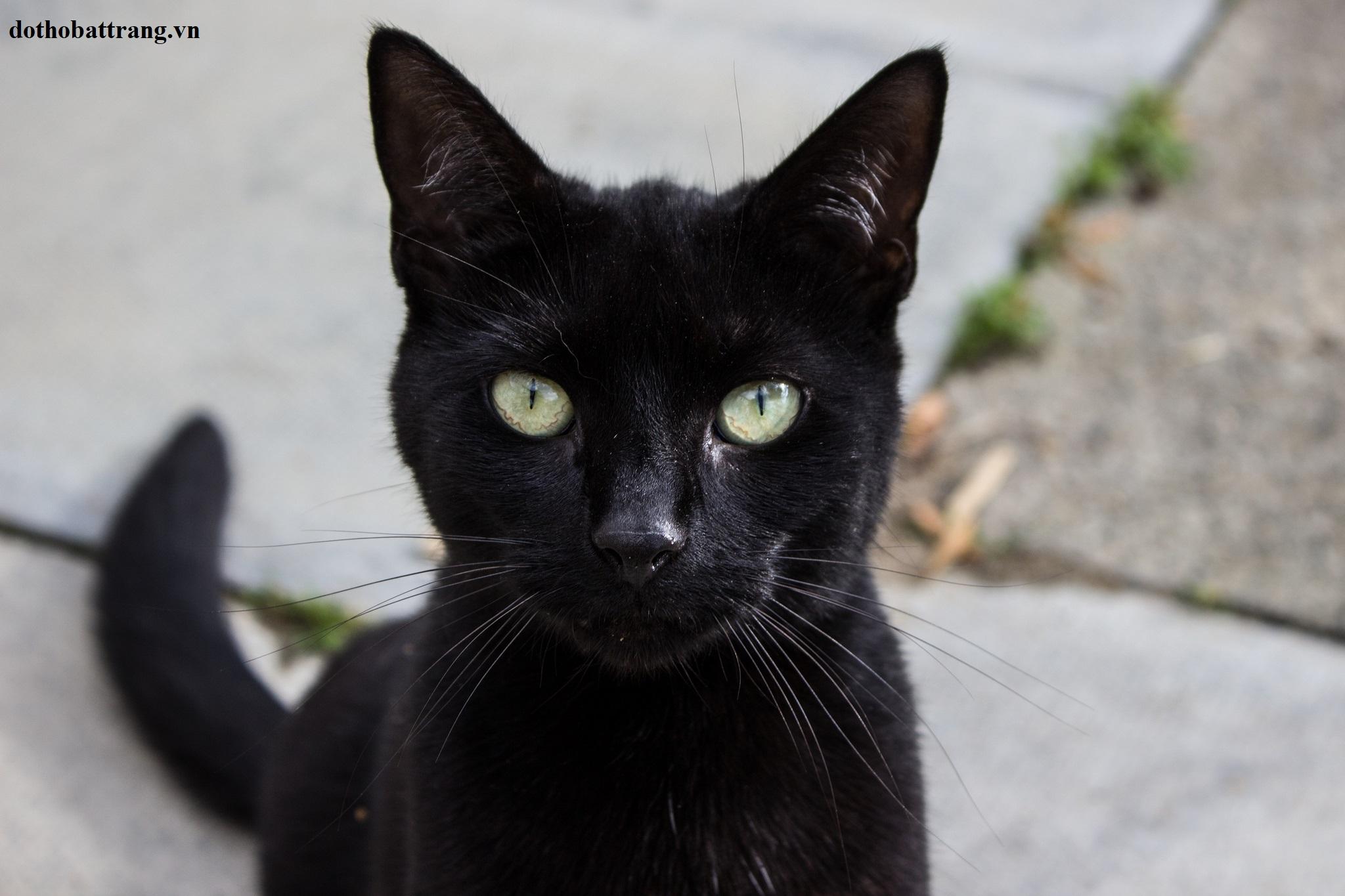 Mơ thấy mèo đen là điềm gì 1
